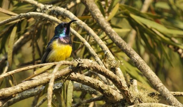Yellow-bellied Sunbird