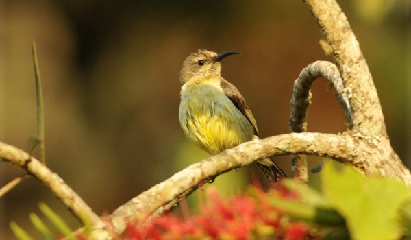Yellow-bellied Sunbird – f.
