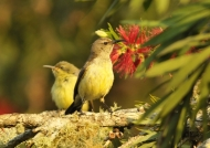 Yellow-bellied Sunbird f-juv