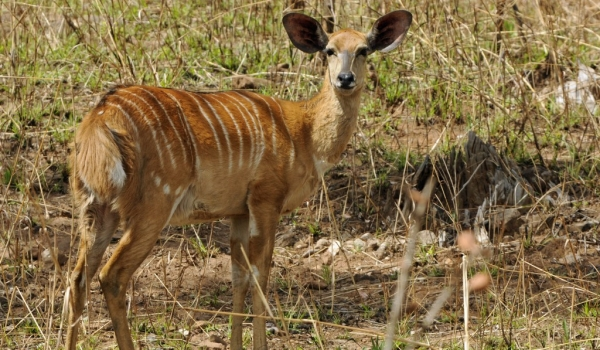Nyala Antelope – female