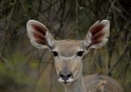 Nyala Antelope – young