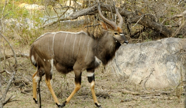 Nyala Antelope – male
