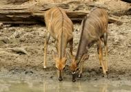 Nyala Antelopes-young m. & f.