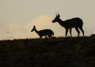 Reedbucks male & female