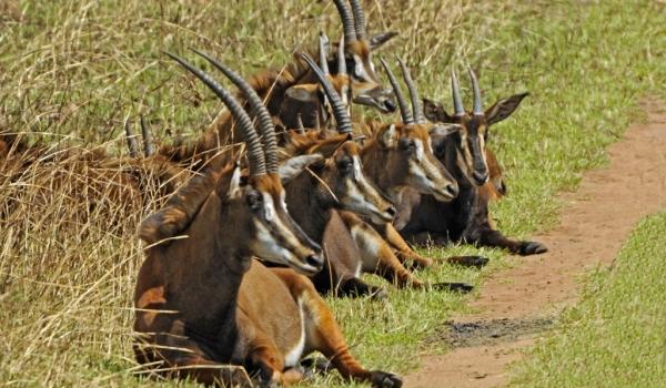 Sable Antelopes – females