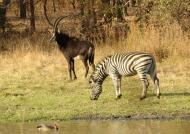 Sable Antelope wih Zebra