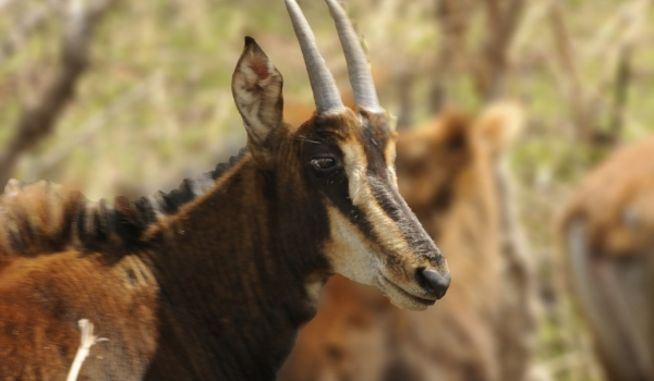 Young Sable Antelope – f.
