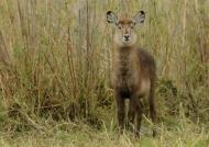 Waterbuck – female