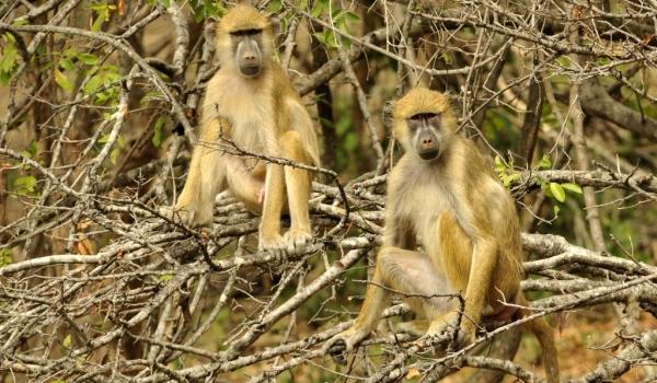 Yellow Baboons