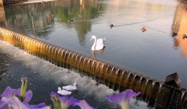 Swans on the Thiou River