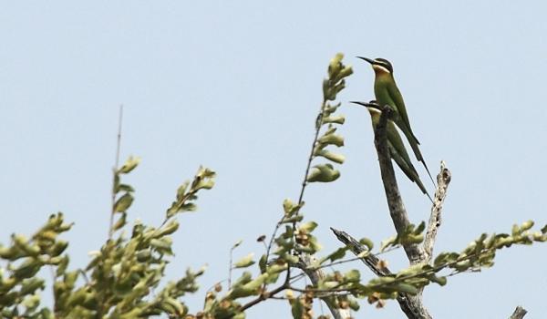 Madagascar Bee-eaters