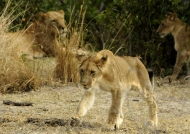 Very young cub