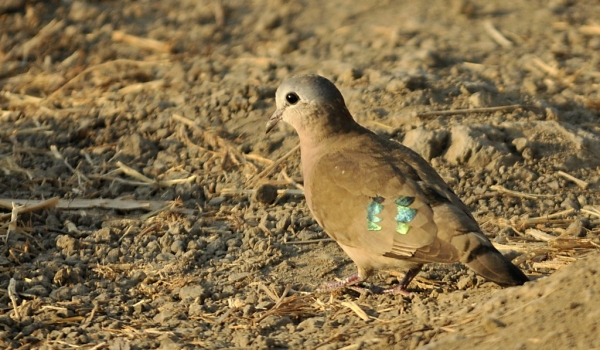 Emerald-spotted Dove
