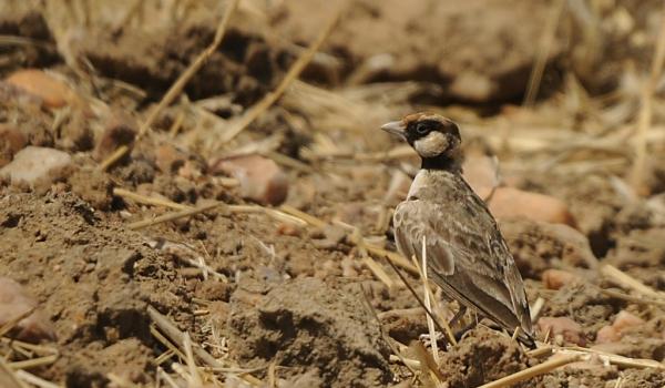 Fischer's Sparrow Lark – m.