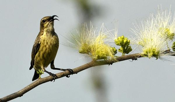 Marico Sunbird – f.