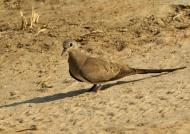 Namaqua Dove – f.