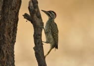 Speckle-throated Woodpecker