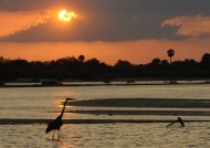 Goliath Heron at sunset