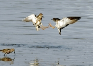 Wood Sandpipers