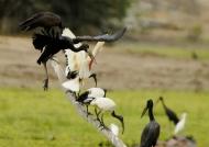 Sacred Ibis fishing