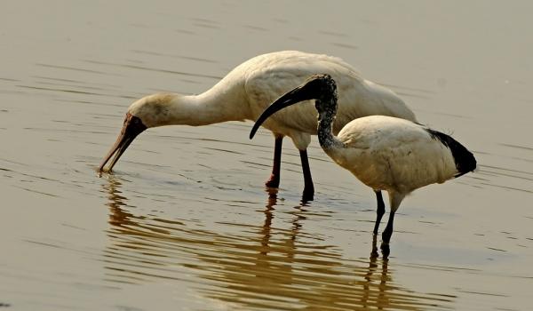 Spoonbill & Sacred Ibis