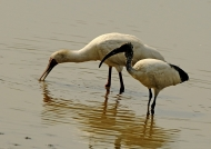 Spoonbill & Sacred Ibis