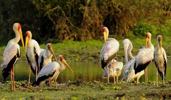Yellow-billed Storks & immat.