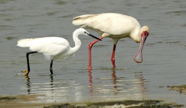 Spoonbill & Little Egret