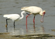 Spoonbill & Little Egret