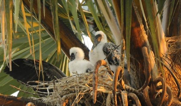Yellow-billed Storks – chicks