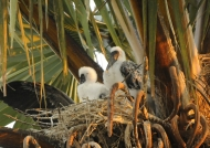 Yellow-billed Storks – chicks