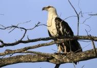 Fish Eagle – juvenile
