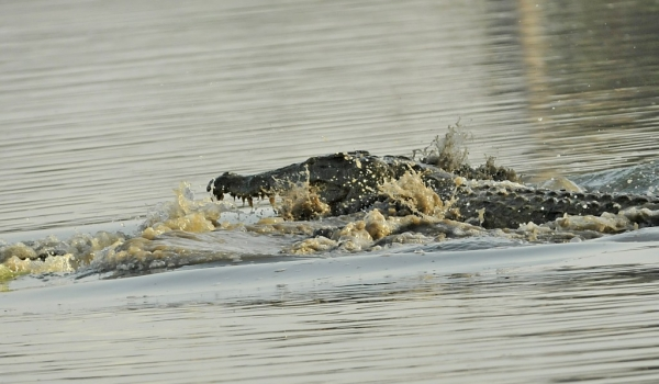 Nile Crocodile fight ending