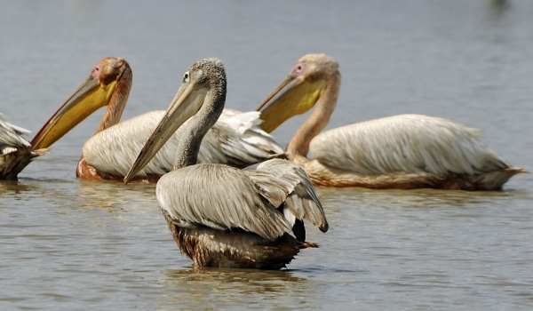 White & Pink-backed Pelicans