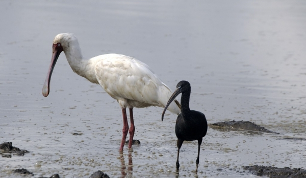 Spoonbill & Glossy Ibis