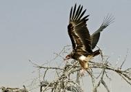 Lappet-faced Vulture