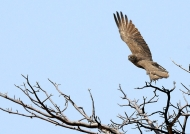 Brown Snake Eagle