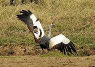 Lapwing attacking a Crane