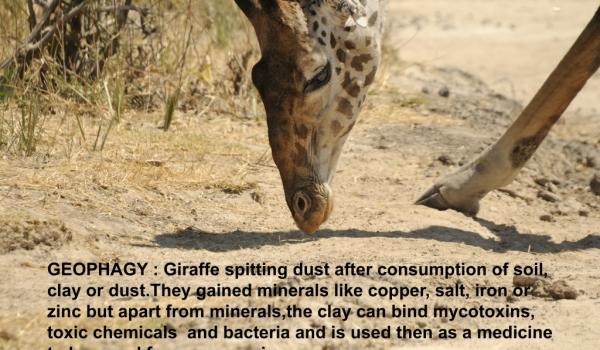 Giraffe – what is Geophagy ?