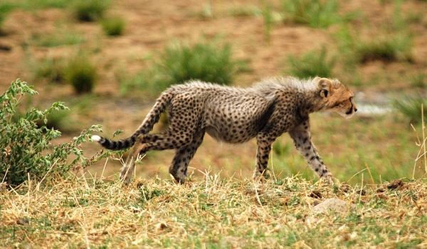 Cub going to join the cheetah