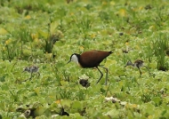 African Jacana & 2 chicks