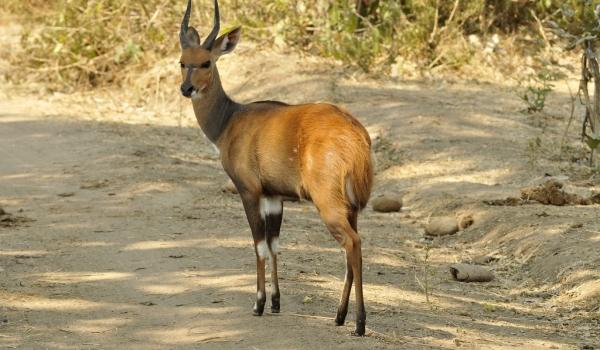 Bushbuck male