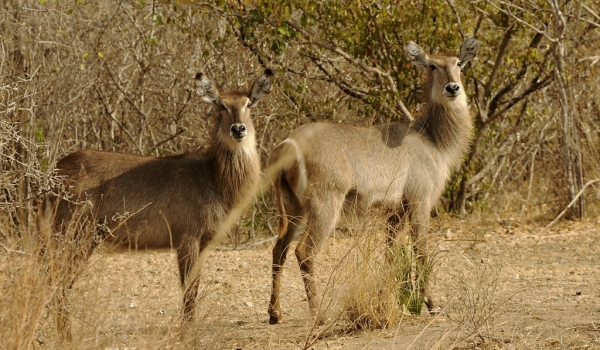 Waterbucks – female