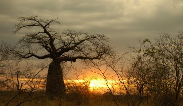 Sunset on a Baobab