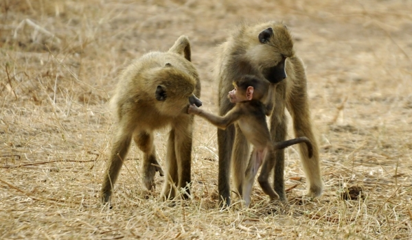 Family of Yellow Baboons