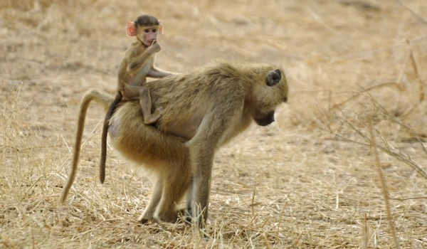 Yellow Baboon with baby