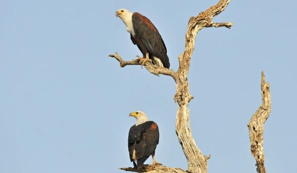 Fish Eagles – couple