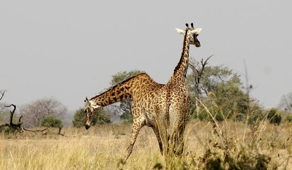Giraffes – Siamese sisters?