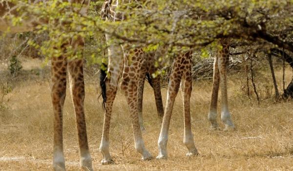 Giraffes – Leg collection