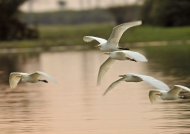 Intermediate Egrets